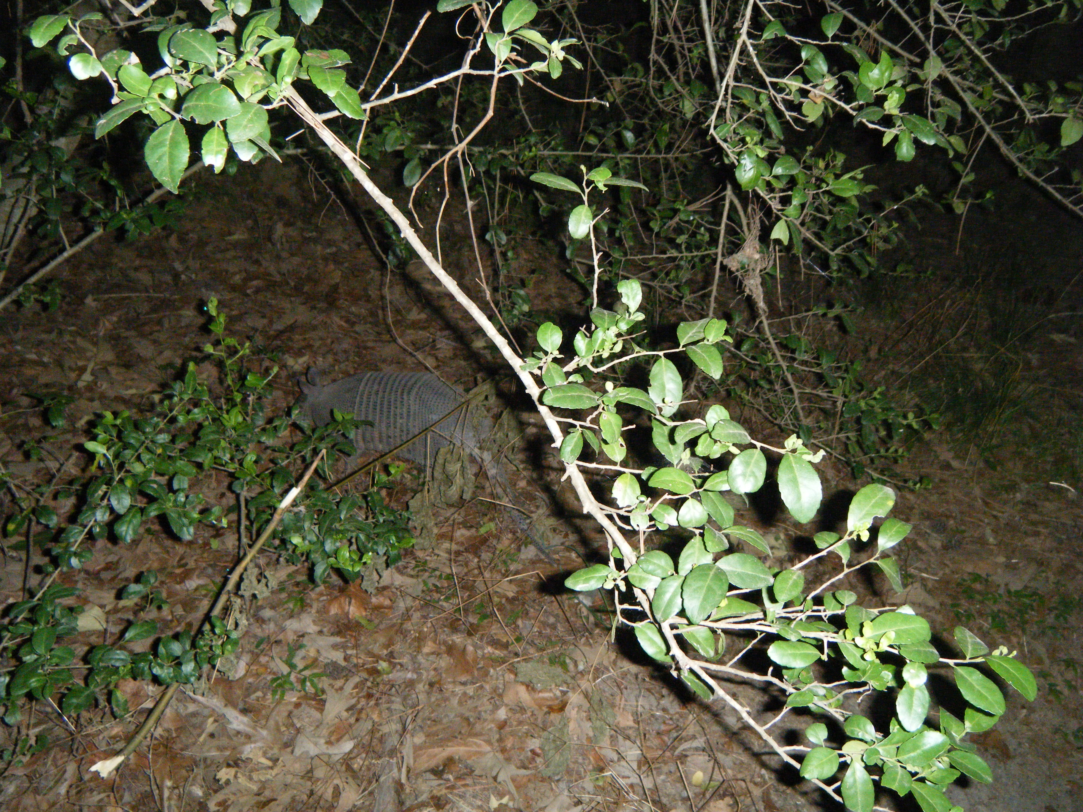 Night stalking armadillos in Huntsville. There were also two gators, but we forgot the camera.